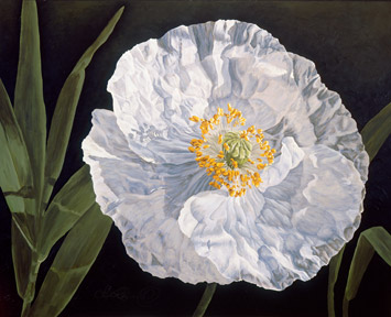 Papery thin white poppy