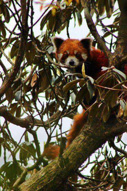 BeFunky_Red-Panda-Ilam-Nepal.jpg