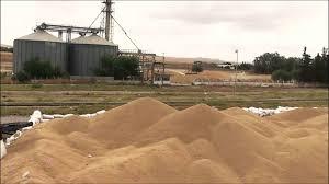رغم تحذيرات سابقة : الأمطار تتلف كميات كبيرة من الحبوب