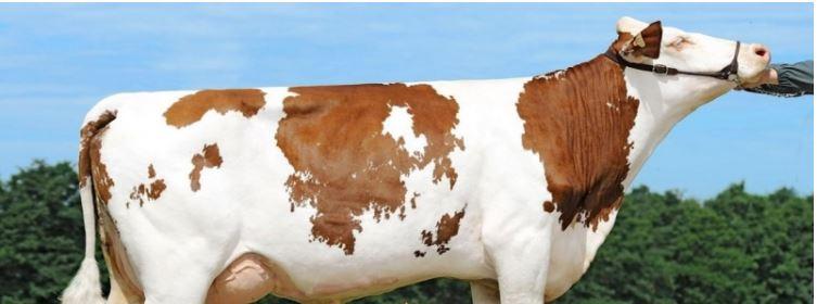 الكاف: اكتشاف 5 بؤر لمرض اللسان الازرق في صفوف قطعان ماشية
