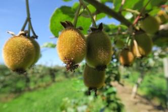 Kiwiboomgaarden