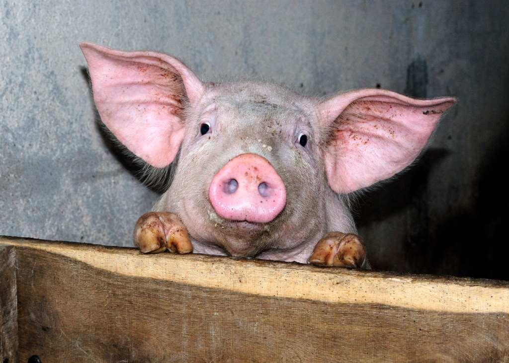 cochon mignon Gilles Péris y Saborit