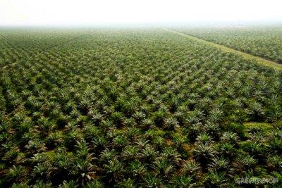 Palmolieplantages (monocultuur)
