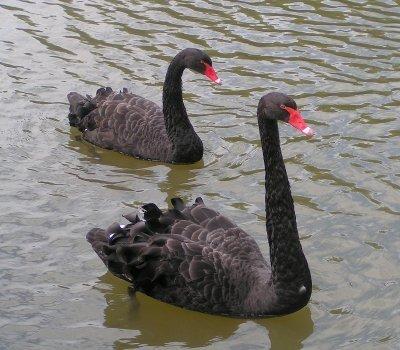 """""""Alle zwanen zijn wit"""" is een falsifieerbare bewering, omdat het bestaan van zwarte zwanen (de antithese) kan worden bewezen."""