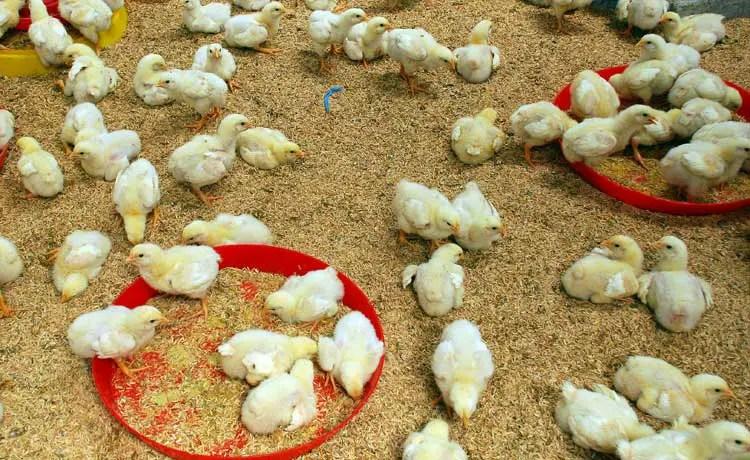 Perawatan Ternak Ayam Potong