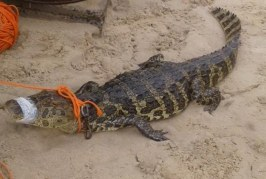 Jacaré de 2 metros é encontrado em terreno de cidade no interior da Bahia