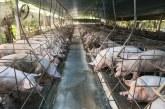 Adab realiza campanha de prevenção contra peste suína clássica