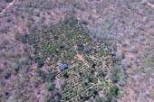 Drone localiza cerca de 40 mil pés de maconha em Canudos; assista