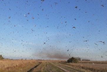 Após chegar na Argentina, nuvem de gafanhotos se aproxima do Brasil