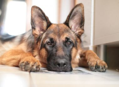 Morre primeiro cachorro diagnosticado com coronavírus nos EUA