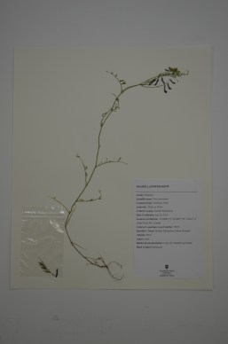 Vicia americana (American Vetch)