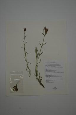 Castilleja miniata (Red Paintbrish)