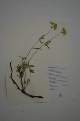Eriogonum heracleoides (parsnipsflower buckwheat)