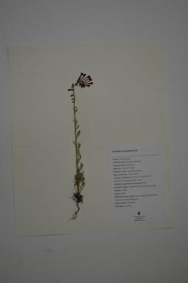 Ipomopsis aggregata (scarlet gillia)