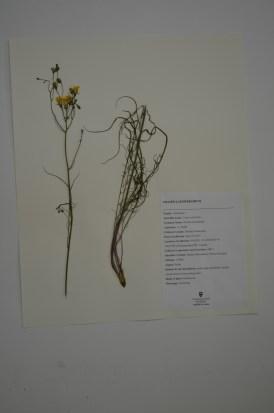 Crepis atribarba (slende hawksbeard)