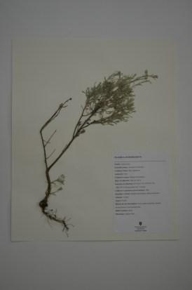 Artemisia tridentata (big sagebrush)