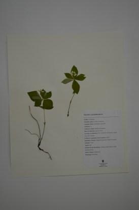 Cornus canadensis (bunchberry dogwood)