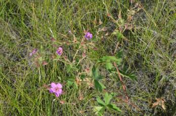 Geranium viscosissimum (sticky geranium)