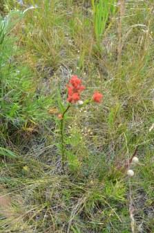 Castilleja miniata (red paintbrush)