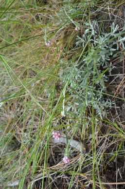 Antennaria rosea (rosy pussytoes)