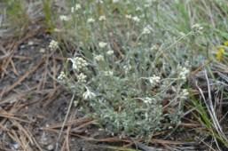 Antennaria neglecta (field pussytoes)