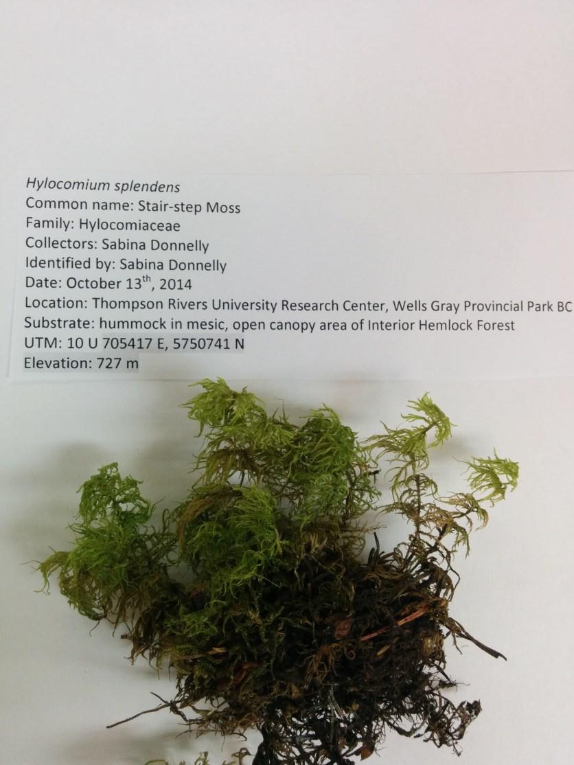 Hylocomium splendens (Stairstep moss)