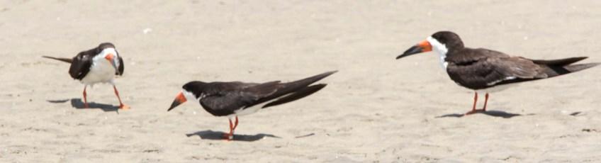 Bec en Ciseaux noir (Rynchops niger)-27