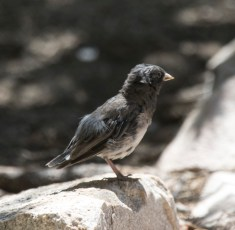 Moucherolle noir (Sayornis nigricans)-5