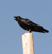 grand Corbeau (Corvus corax)-1