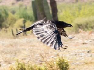 grand Corbeau (Corvus corax)-107