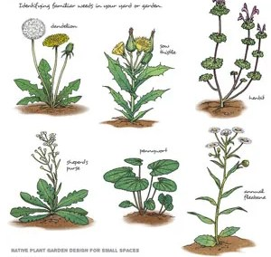 Common Weeds and Invasive Plants of the Lehigh Valley
