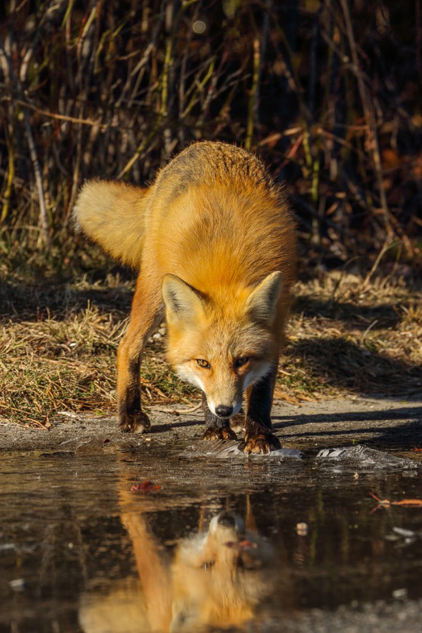 Red Fox by Dave Levandusky