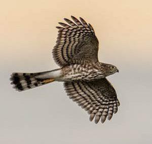 American Hawkwatcher