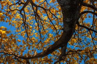Bajo la sombra amarilla del majestuoso árbol