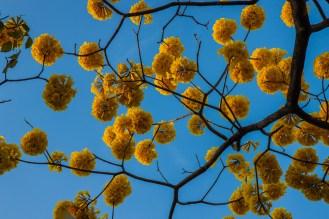 Ramos redondos que engalanan las ramas