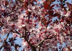 Purple-leaf sand cherry