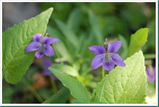 Violets and Leaves2