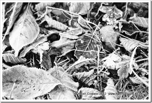 Frosty leaves B&W