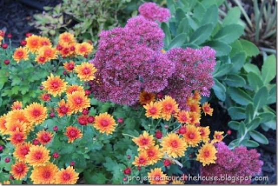 crysanthemum- autumn joy sedum