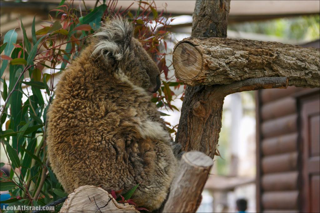 Ган Гуру - парк с кенгуру и другими австралийскими животными   Gan Guru   גן גורו   LookAtIsrael.com - Фото путешествия по Израилю