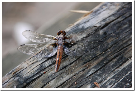 DRAGONFLY WET (5)