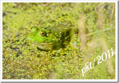 DSC_1328-(2)frog-in-common-duckweed