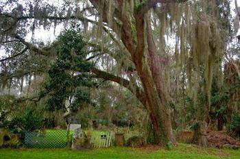 Micanopy oaks