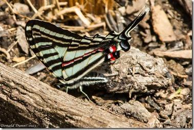 Zebra Swallowtail Butterfly, Dunnhill