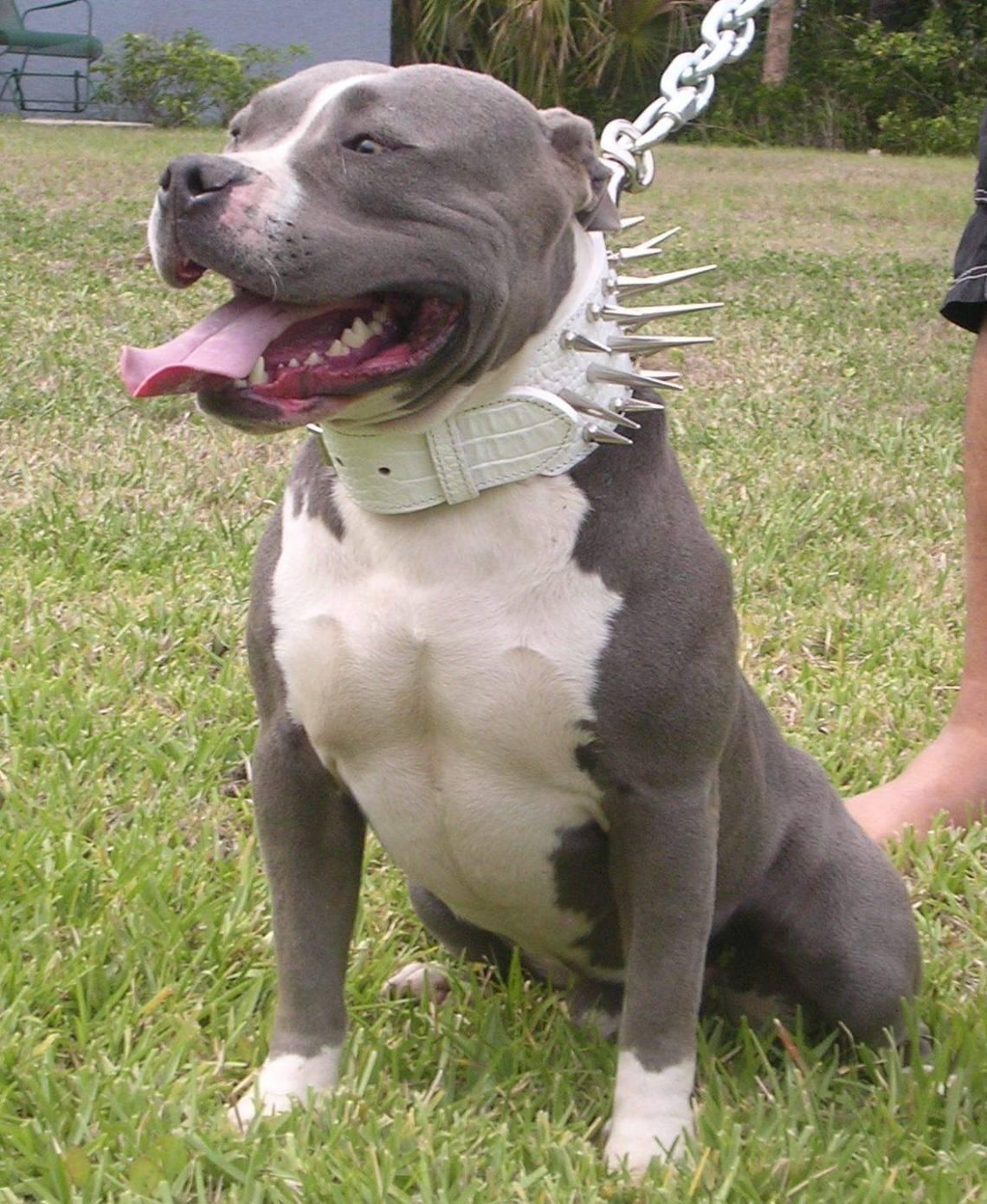 dog pitbull Pitbull Dog For Sale