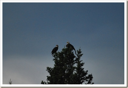 2 eagles sillouette in tree top