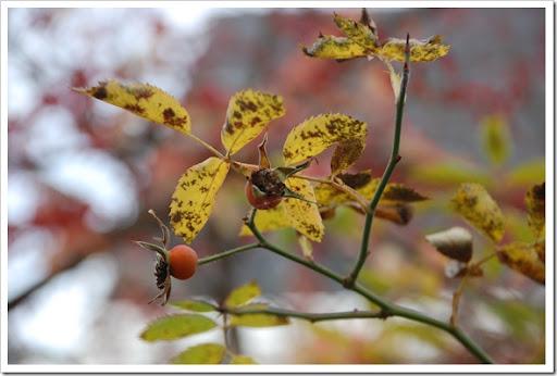 yellow rosehip