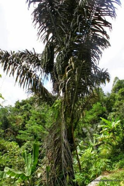 arenga pinnata the source of palm sugar