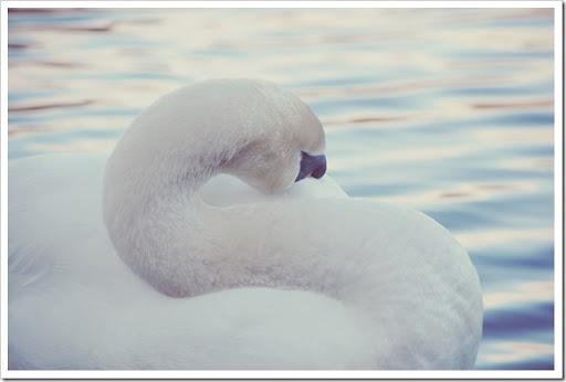 Mute Swan Soft 1