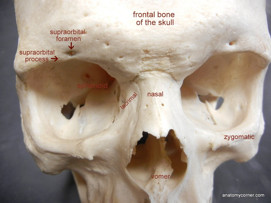 Zygomatic Labeled
